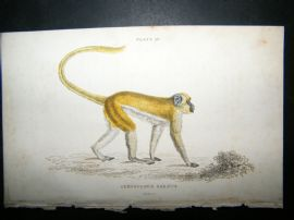 Jardine C1835 Antique Hand Col Print. The Green Monkey